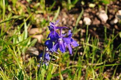 jolie fleur bleue!