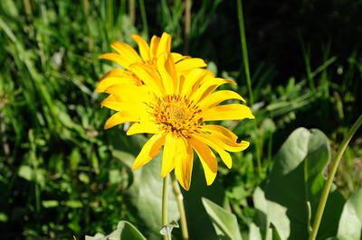 Il y a partout ces magnifiques fleurs jaunes, Arrowleaf balsamroot
