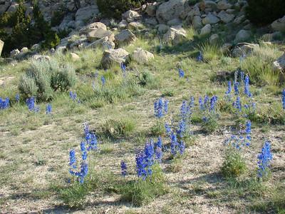 les delphiniums sont bleu fluo!