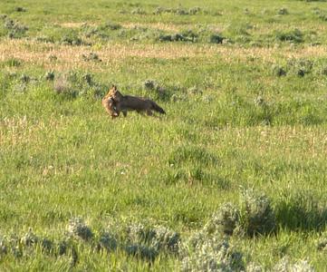 Maman coyote et son petit (2)