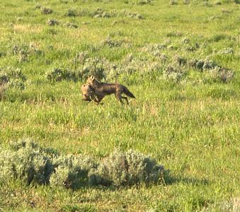 Un spectacle fabuleux: En voyant le loup au loin, une maman coyote attrape son petit, et l'éloigne du prédateur. Elle l'a pris par l'arrière train, et il rebelle!!!
