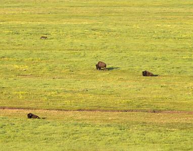 les bisons s'en foutent complet!