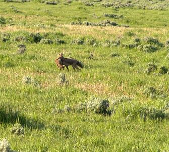 Maman coyote et son petit (1)