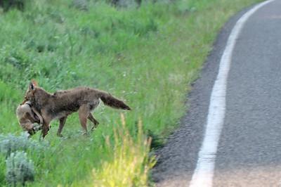Son but évident est d'éloigner son petit  le plus vite possible et le plus loin du loup en maraude
