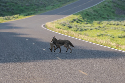 Maman coyote et son petit au milieu de la route!