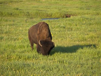 le bison broute, sans inquiétude